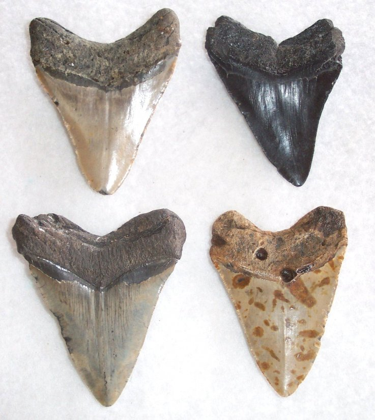 "4"" Commercial Quality megalodon Teeth - Click Image to Close"