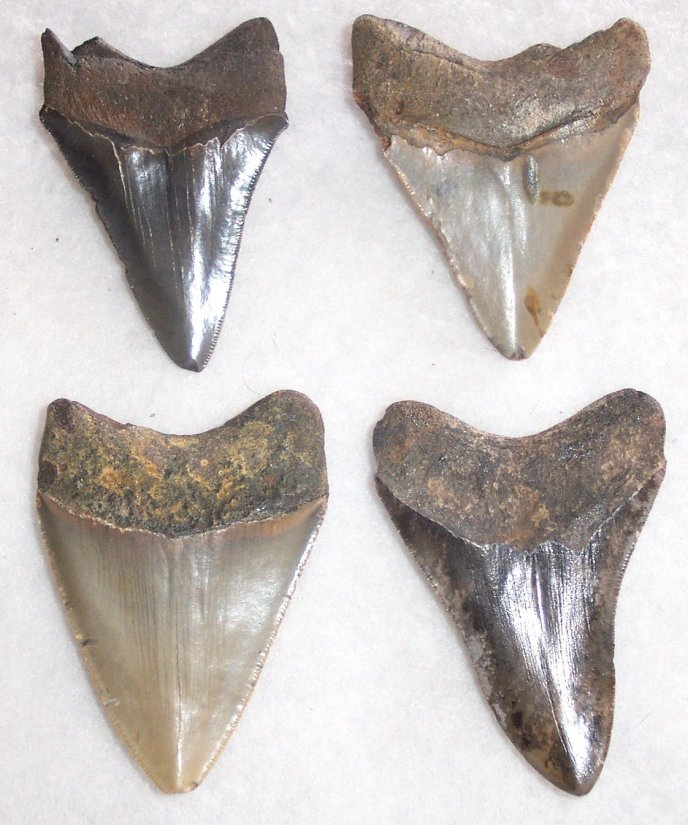 "3"" Commercial Quality megalodon Teeth - Click Image to Close"
