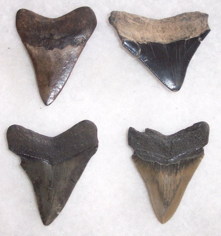 "2 1/2"" Commercial Quality megalodon Teeth - Click Image to Close"