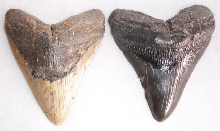 "5 1/2"" Commercial Quality megalodon Teeth - Click Image to Close"