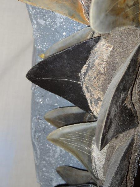 5 Foot Megalodon Jaw - Click Image to Close