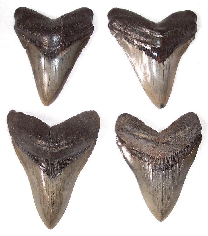Commercial Carcharocles megalodon Fossil Shark Teeth - Click Image to Close